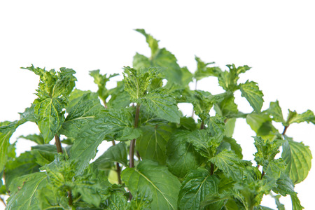 Mint Plant isolated on white background photo
