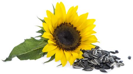 semillas de girasol: Girasol con los gérmenes aislados en el fondo blanco