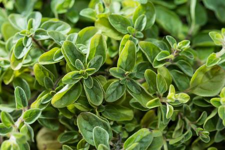 oregano plant: Small Oregano Plant (detailed high resolution close-up shot) Stock Photo