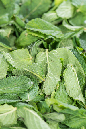 mint leaves: Mint Leaves for use as background image or as texture