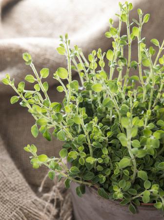 oregano plant: Small and young Oregano Plant (detailed close-up shot)