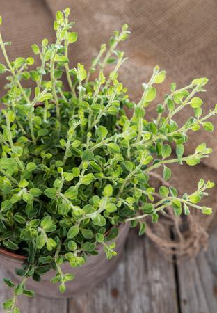 oregano plant: Oregano Plant on wood on grey vintage wooden background Stock Photo
