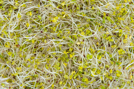 broccoli sprouts: Portion of fresh Broccoli Sprouts as detailed macro shot Stock Photo