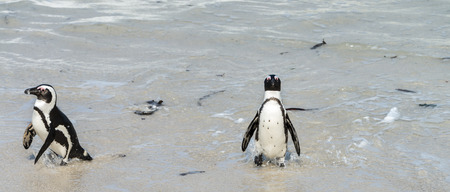 penguin colony: African Penguins (Spheniscus Demersus) at Boulders Beach (South Africa) Stock Photo