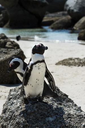 spheniscus demersus: African Penguins (Spheniscus Demersus) at Boulders Beach (Simonstown) in South Africa Stock Photo
