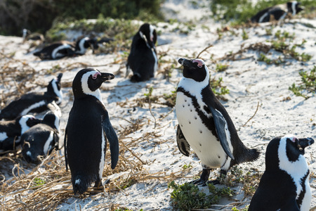 penguins on beach: Jackass Penguins (lat. Spheniscus Demersus) at Boulders Beach in South Africa Stock Photo