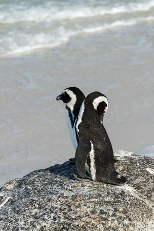 penguins on beach: African Penguins (Spheniscus Demersus) at Boulders Beach (South Africa) Stock Photo