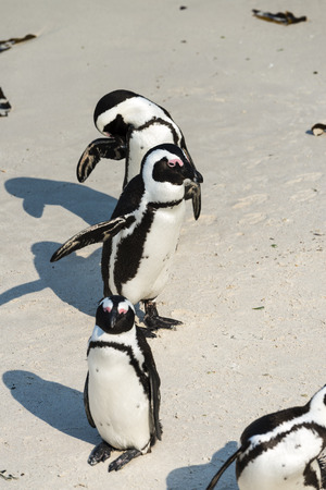 penguins on beach: African Penguins (Spheniscus Demersus) at Boulders Beach (Simonstown) in South Africa Stock Photo