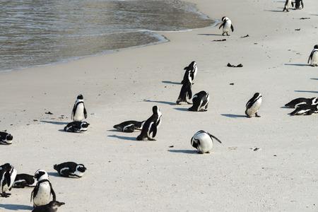 spheniscus demersus: African Penguins (Spheniscus Demersus) Simonstown in South Africa Stock Photo