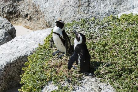 spheniscus demersus: Jackass Penguins (lat. Spheniscus Demersus) at Boulders Beach in South Africa Stock Photo