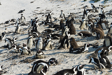 jackass: Jackass Penguins (lat. Spheniscus Demersus) at Boulders Beach in South Africa Stock Photo