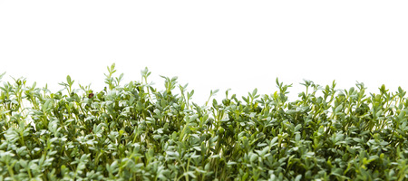 Garden Cress (close-up shot) isolated on white background