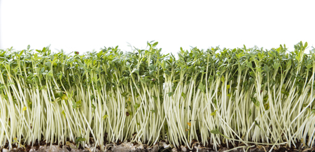 cress: Garden Cress (close-up shot) isolated on white background