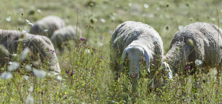 Flock of Sheeps (detailed selective focus) on a meadow Stock Photo