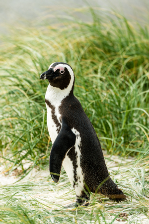African Penguins (lat. Spheniscus Demersus) at Boulders Beach in Simonstown in South Africa Stock Photo