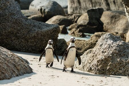 Penguins at Boulders Beach, Simonstown in South Africa (close-up shot)