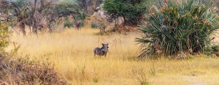Warthogs spotted in the Okavango Delta, Botswana during winter season