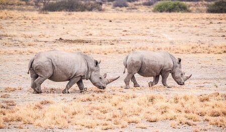 White Rhinoceros spotted in the Khama Rhino Sanctuary, Botswana, during winter Reklamní fotografie