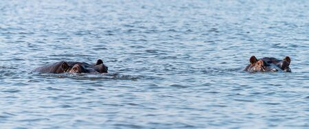 Hippo (mostly submerged) spotted in the Chobe National Park, Botswana 版權商用圖片