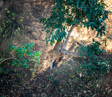 Leopard (Panthera pardus) hunting in the Kruger National Park, South Africa early in the morning