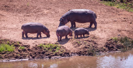 Group of Hippopotamus in the Kruger National Park, South Africa, close-up shot