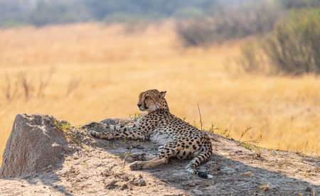 Relaxing Cheetah in the Kruger National Park, South Africa during winter season Reklamní fotografie