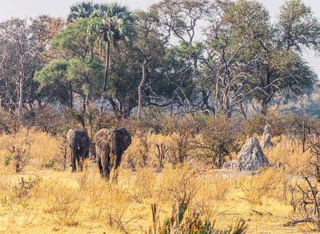 Two Elephants walking in the Okavango Delta, Botswana, during winter