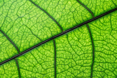 Green leaf texture, macro picture, abstract background