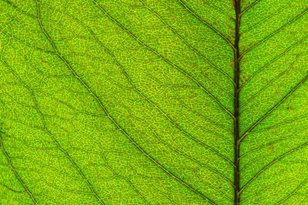 Macro picture of leaf texture, anstract background