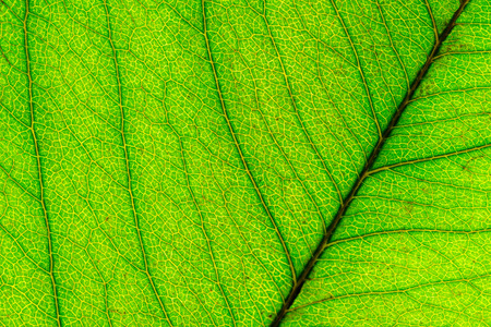 Texture of green leaf background, macro image Stock Photo