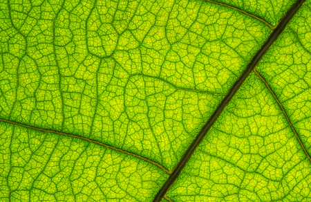background of green leaf texture, macro picture
