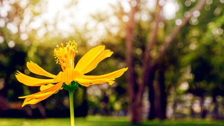 one yellow flower in the park and blur bokeh beautiful spring background