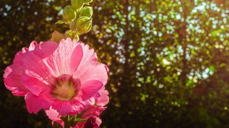 Beauty full bloom pink hollyhock flower and blur bokeh green background with orange warm light ,close up picture