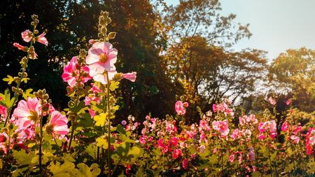 Lovely pink bloom hollyhock flowers field in graden and blur tree background