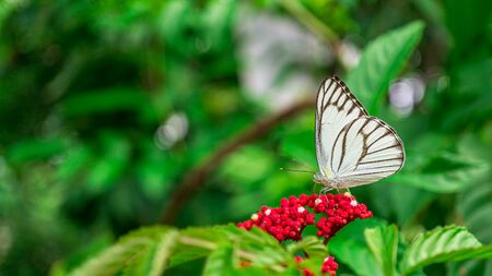 White Butterfly feeding on red blossom flower in garden, Close up insect picture, nature blue green panoramic background and copy space Banco de Imagens