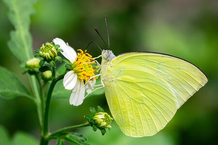 Close up picture of lemon emigra butterfly hanging and eating on white bloom flower Reklamní fotografie