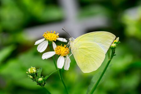 The small green butterfly name Lemon emigra eating on white bloom flower close up insect picture nature background