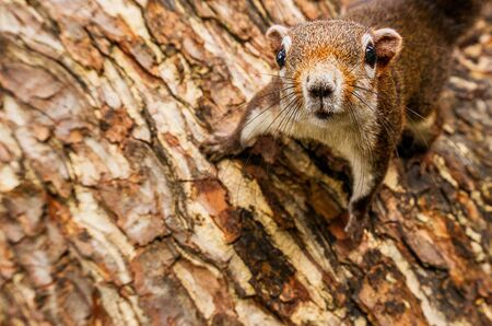 Curiosity red squirrel hanging on the tree close up animal picture and copyspace