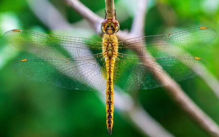 Macro inscet picture of dragonfly hanging on small branch and soft blur green nature background