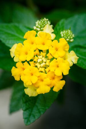 Close up macro nature picture of yellow lantana flowers blossom and leaves background