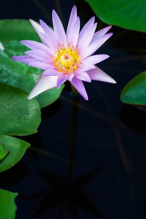 one blossom purple lotus flower on pond and text space nature background