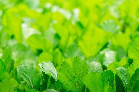 Close up fresh vegetable garden nature green abstract background copy space Reklamní fotografie
