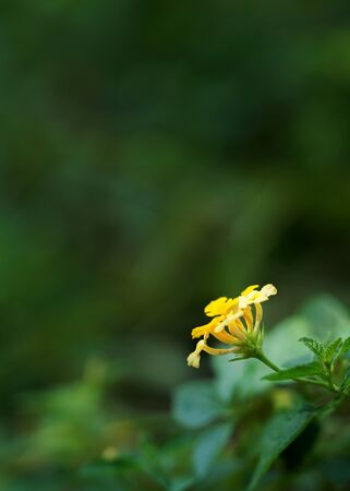 Single Lantana yellow flower bloom close up picture and soft blur green nature background text space Reklamní fotografie