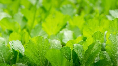 Abstract green fresh vegetable garden close up nature background and copy space