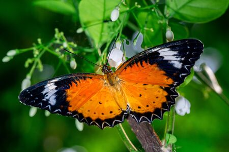 Leopard Lacewing butterfly on white flower close up nature background