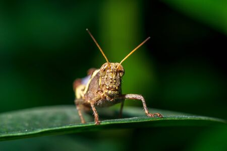 Macro picture of brown locust on green leaf nature close up inscet background