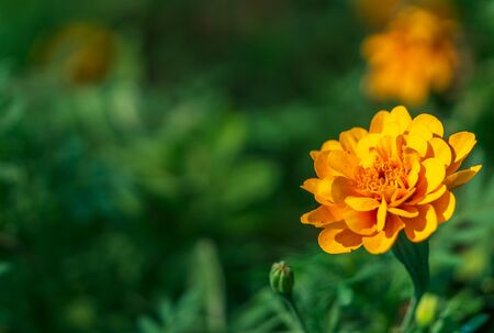 Close up one yellow flower and blur green leaves nature background and text space
