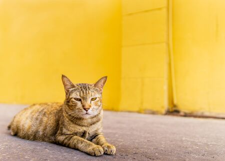 one yellow cat with boring face lying on the street and blur bright yellow wall background and text space, close up animal portrait. 版權商用圖片