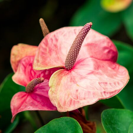 Close up anthurium pink heart shape flower and green leaves flora background floral in greenhouse
