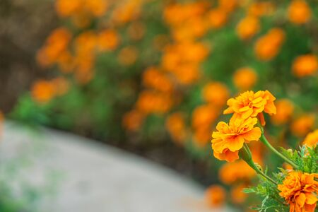 closeup orange flower in public park and blur green background with text space